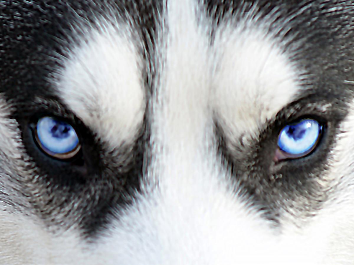 el lobo de las ventas